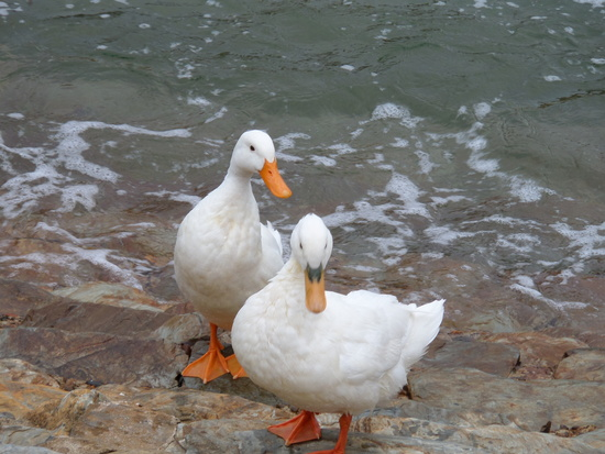 Ducks at Harbour